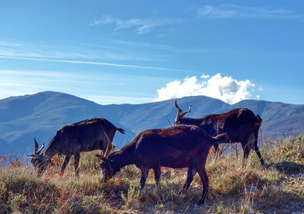 Cabras extremeñas en las cumbres del Valle del Jerte, en el entorno de la Garganta de los Infiernos. :: E. R./