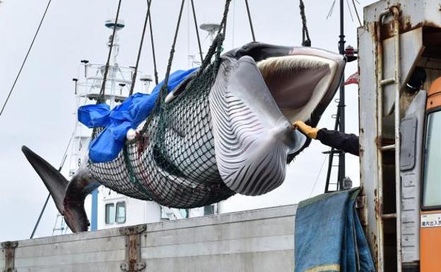 Resultado de imagen para japon captura ballenas despues de 30 años